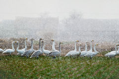 A group of swans Royalty Free Stock Photos