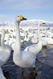 Group of Swans Royalty Free Stock Images