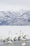 Group of Swans Stock Photos