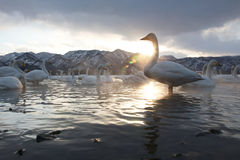 Group of Swans Stock Photography