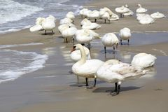 A group of swans on the beach Royalty Free Stock Photo