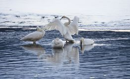 Group of swans in evening light Stock Photos