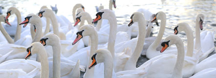Group of swans Royalty Free Stock Photo