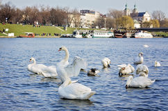 Group of swans in Cracow, Poland. Group of swans swimming on the Vistula River in Cracow in Malopolska voivodeship, Poland. In the background you can see Stock Images