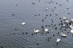 Group of swans and ducks. On a river royalty free stock images