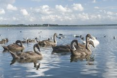 Group of swans and ducks Stock Photography