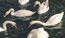 Group of swans is fed. In the water stock photo