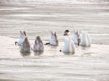 Group of swans feeding in winter stock image