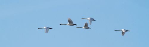 Group of swans flying Stock Image