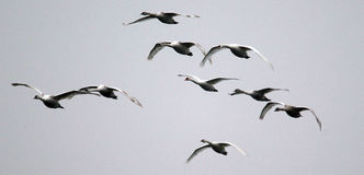 Group of Swans flying Royalty Free Stock Images