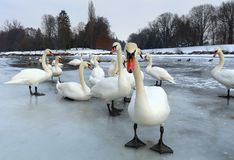 Group of swans on ice Royalty Free Stock Image