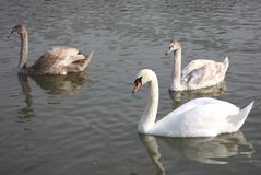A group of swans on the lake. A group of several white swans floating on the lake royalty free stock image
