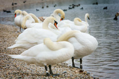 Group of swans on lake shore Royalty Free Stock Images