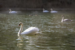 Group of swans at the lake Royalty Free Stock Photography