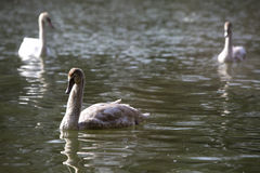 Group of swans at the lake Royalty Free Stock Images