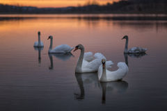 Group of swans on lake with a wonderful sunset. Royalty Free Stock Photo