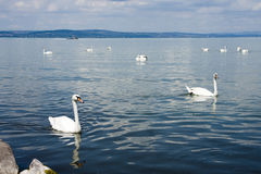 Group of swans Stock Photo