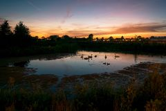 Group of swans in a pond at sunset stock image