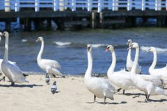 Group of swans on the sandy beach, close to the Sopot pier, Sopot, Poland.  stock photo
