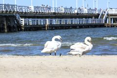 Group of swans on the sandy beach, close to the Sopot pier, Sopot, Poland.  Stock Image