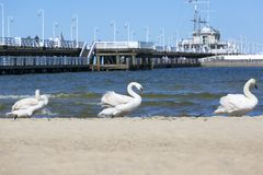 Group of swans on the sandy beach, close to the Sopot pier, Sopot, Poland.  royalty free stock photo