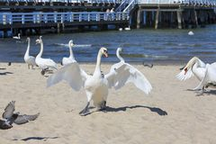 Group of swans on the sandy beach, close to the Sopot pier, Sopot, Poland.  royalty free stock images