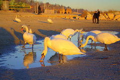 Group of swans at sunset beach Royalty Free Stock Photography