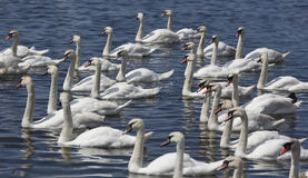 Group of swans swimming Royalty Free Stock Image