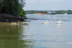 A group of swans swimming on Dunav river. stock photo