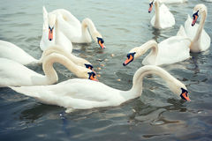 Group of swans Stock Images