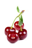 Group of Sweet Fresh Cherries with Green Leaves. On White Background Stock Photos