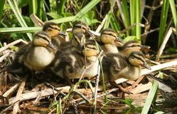 A group of cute Mallard duckling Anas platyrhynchos standing in the reeds at the side of a stream. A group of sweet Mallard duckling Anas platyrhynchos standing Royalty Free Stock Photography