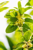 Sweet osmanthus flowers Royalty Free Stock Images