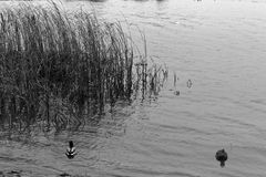 Group of swiming ducks in the river. Cold later autumn or early winter, monochrome image.  Stock Image