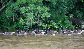 A Group of Swimming Geese. A group of Canadian geese swimming upstream on the Roanoke River located in Roanoke County, Virginia, USA Royalty Free Stock Images