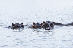 Group of swimming hippos Royalty Free Stock Photography