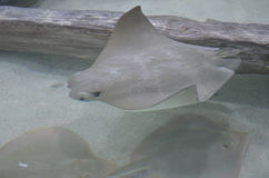 Group of Swimming Stingrays on the Ocean Floor Royalty Free Stock Photo