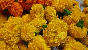 Group of Tagetes florals. Close up still of orange Tagetes flowers stock image