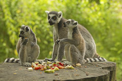 Group tailed lemur with food Royalty Free Stock Photography