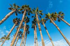 Group of Tall Palm Trees with Blue Sky and Clouds Royalty Free Stock Images