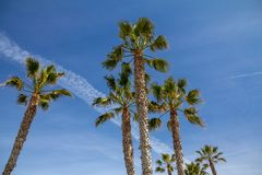 Looking up to Palm Trees and an airplane trail. A group of tall palm trees near San Diego California as seen from below.  The trees contrast with a blue sky and Royalty Free Stock Image