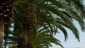 Branch of palm trees swaying in the wind in Sunny Montenegro. Group of tall palm trees swaying in the wind in Sunny Montenegro in high season stock video