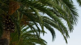 Branch of palm trees swaying in the wind in Sunny Montenegro. Group of tall palm trees swaying in the wind in Sunny Montenegro in high season stock video footage