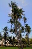 Group of Tall Palms Stock Photos