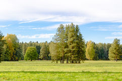 A group of tall pine trees in a clearing, lit by the rays of the sun early autumn. Royalty Free Stock Photography