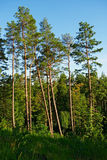 Group of tall pine trees. Royalty Free Stock Photos