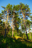 Group of tall scots or scotch pine Pinus sylvestris trees in forest. Stock Image