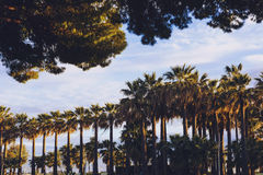 Group of tall tropical-looking palm trees lined up in Cannes. CANNES, FRANCE - April 30, 2016: Group of tall tropical-looking palm trees lined up, their leaves Stock Photo