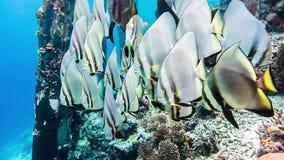 Group of Tallfin Batfish near pier and riff edge on Kri Island, Raja Ampat, Indonesia stock video footage
