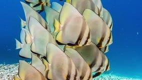 Group of Tallfin Batfish standing calm on riff edge near Pier on Kri Island, Raja Ampat, Indonesia stock video footage